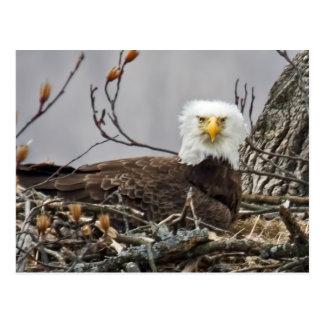 Eagle calvo que incuba un huevo postal