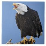 Eagle calvo que llama, home run, Alaska, Haliaetus Azulejo Cuadrado Grande