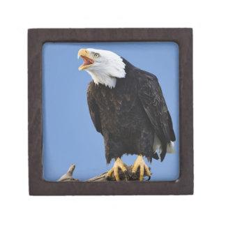 Eagle calvo que llama, home run, Alaska, Haliaetus Cajas De Recuerdo De Calidad