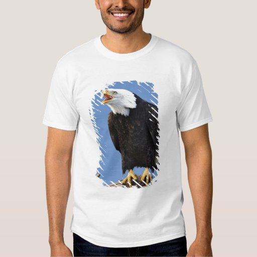 Eagle calvo que llama, home run, Alaska, Haliaetus Polera
