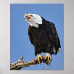 Eagle calvo que llama, home run, Alaska, Haliaetus Póster