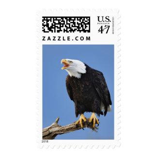 Eagle calvo que llama, home run, Alaska, Haliaetus Sello
