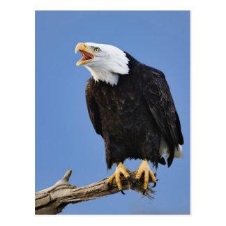 Eagle calvo que llama, home run, Alaska, Haliaetus Postal