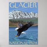 Eagle calvo que se zambulle - Parque Nacional Glac Póster