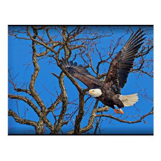 Eagle calvo que toma vuelo tarjetas postales
