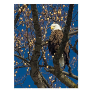 Eagle calvo serio tarjetas postales