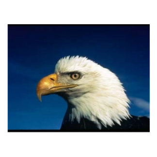 Eagle calvo tarjeta postal