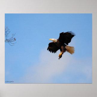 Eagle con los pescados 1 poster