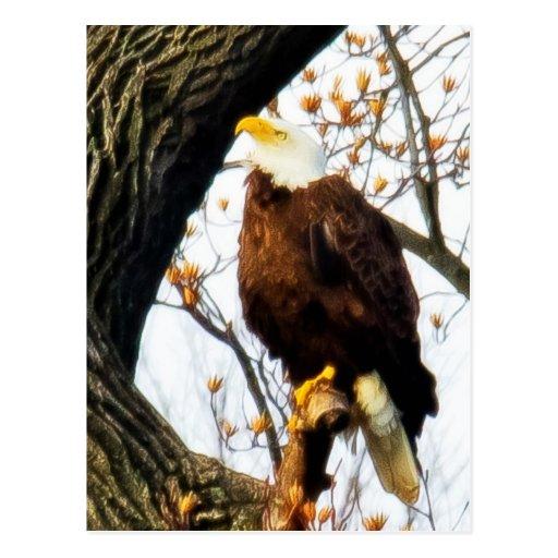 Eagle, contrapesado para el vuelo tarjetas postales