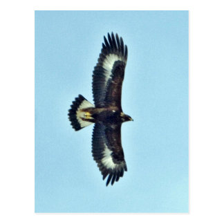 Eagle de oro en vuelo tarjeta postal