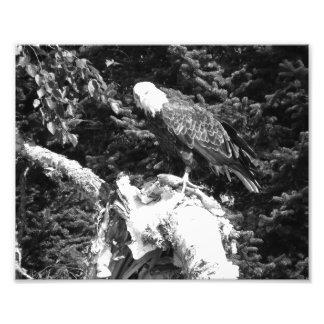 Eagle eating photo print