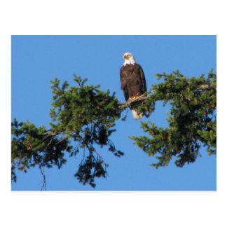 Eagle en árbol tarjeta postal