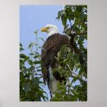 Eagle en el árbol posters