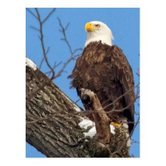 Eagle en una rama Nevado Postal