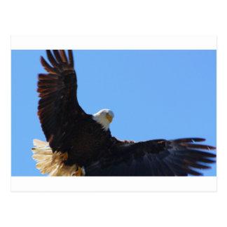 Eagle Open Wings Postcards
