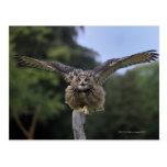 Eagle Owl (Bubo bubo) Post Cards