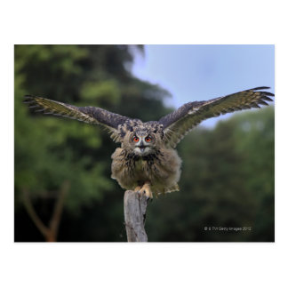 Eagle Owl (Bubo bubo) Postcard