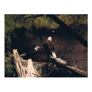 Eagle Pair Postcard