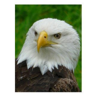 Eagle Photograph - North American Bald Eagle Postcards