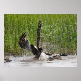 Eagle que ataca a un bribón póster