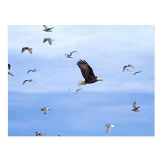 Eagle y el volar de las gaviotas postales