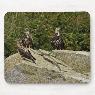 Eagles calvo, jóvenes, Castle Rock, Shumagin Islan Alfombrillas De Ratones