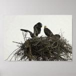 Eagles calvo que jerarquiza en las islas y el visi impresiones