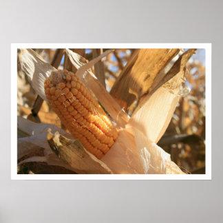 Ear of Field Corn on Stalk Poster