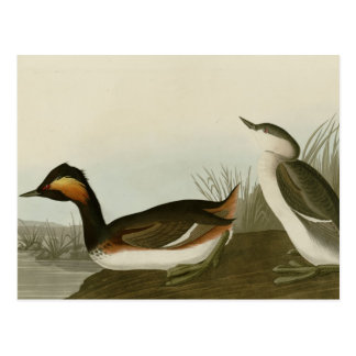 Eared Grebe Post Cards