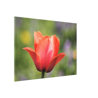 Early Bloomer Tulip Photography Gallery Wrapped Canvas