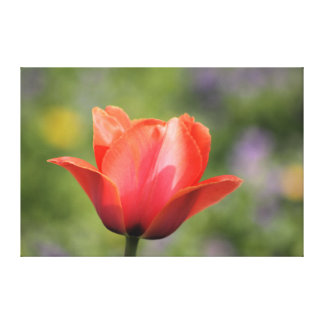 Early Bloomer Tulip Photography Canvas Print