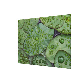 Early morning dewdrops on lily pads, Laurel Canvas Print