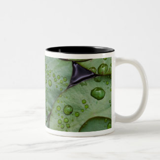 Early morning dewdrops on lily pads, Laurel Two-Tone Coffee Mug