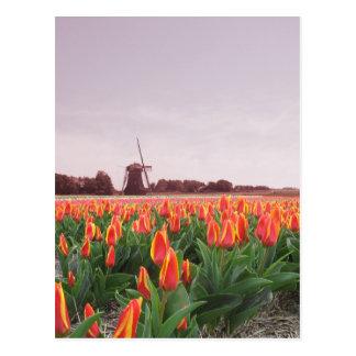 Early Morning Tulip Field & Windmill Holland Postcard