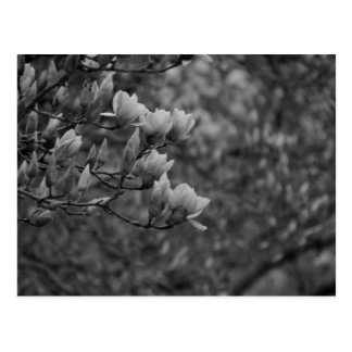 Early Spring Magnolia Blossoms Postcard