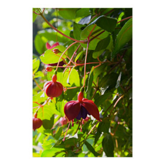 Early Summer's Hanging Fuchsia Poster