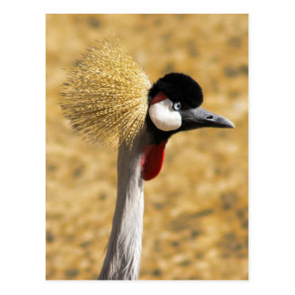 East African Crowned Crane Postcard