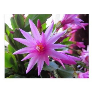 Easter Cactus Flowers