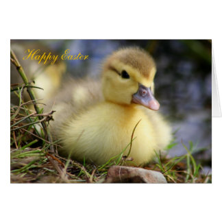Easter Card Baby Muscovy Duckling