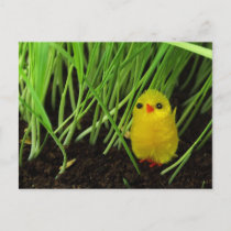 Easter Chick Holiday Postcard