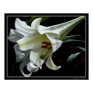 EASTER LILY PRINT