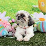 Easter - Shih Tzu - Sophie Photo Cut Out