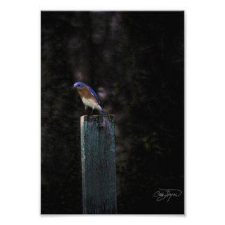 Eastern Bluebird in Winter - Buy it, Frame it! Photo Art