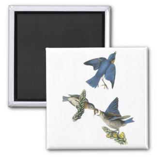 Eastern Bluebird, John Audubon 2 Inch Square Magnet