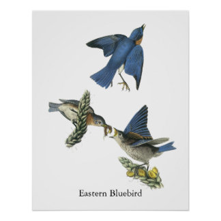 Eastern Bluebird John Audubon Posters