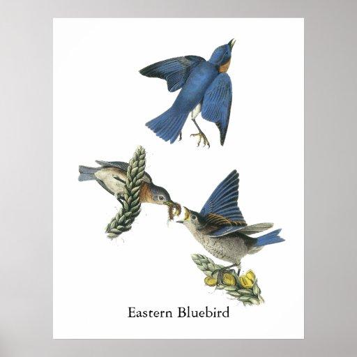 Eastern Bluebird, John Audubon Poster