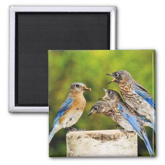 Eastern Bluebird Magnet