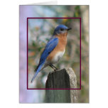Eastern Bluebird Male Card