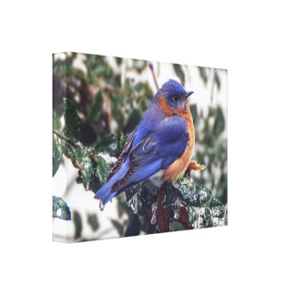 Eastern Bluebird on Ice Covered Holly Canvas Print