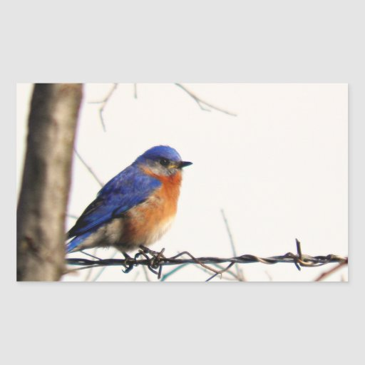 Eastern Bluebird Photo Rectangular Sticker